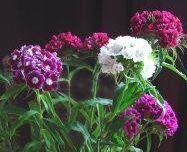 Oeillets de poète (Dianthus barbatus)