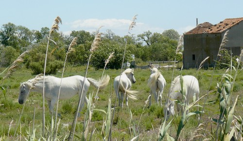 Chevaux de Camargue / photo N. Le Clerc