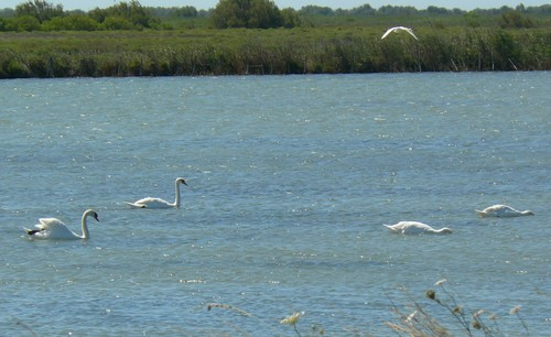 Camargue cygnes / photo N. Le Clerc