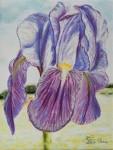 Iris de jour / pastel sec