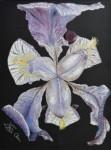 Iris de nuit / pastel sec