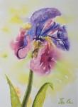 Iris en rosée  (aquarelle N.L.)