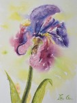 Iris en rosée