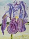 Iris de jour