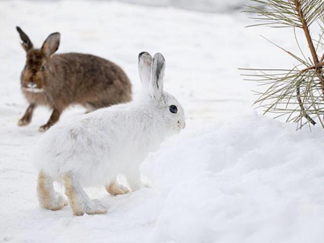 lapins hiver ete