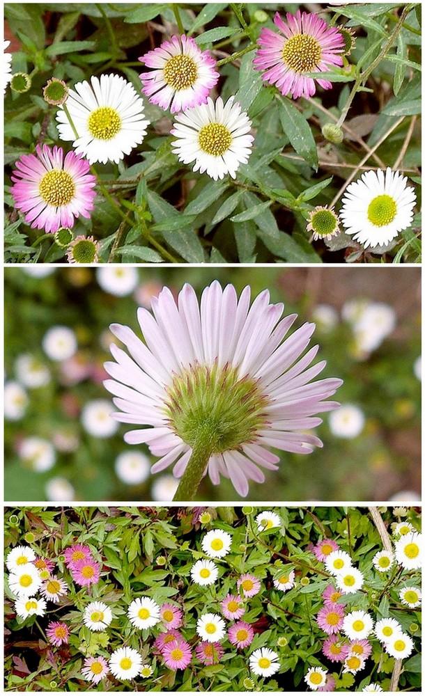 """La Pâquerette, """"Fleur de Pâques"""" ou """"Petite Marguerite"""""""