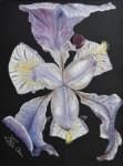 Iris-de-nuit
