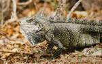 Iguane sauvage des Antilles